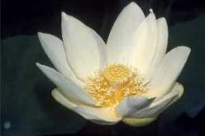 American water lotus blossom